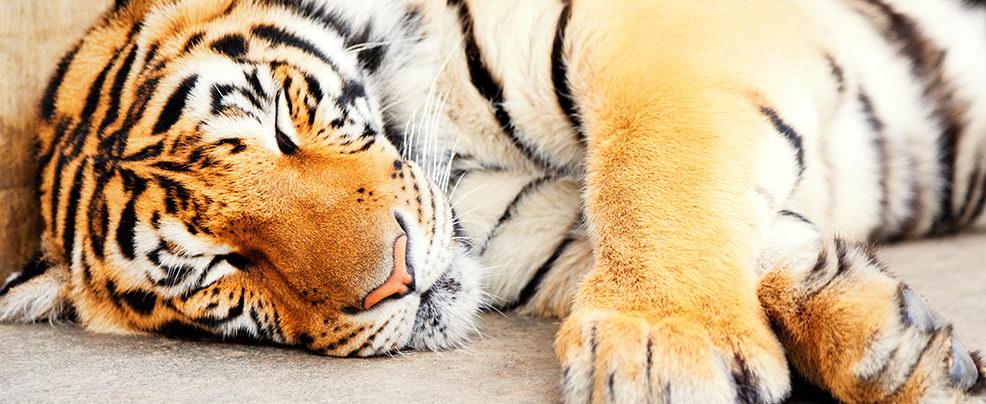 Тайландските тигри отблизо
